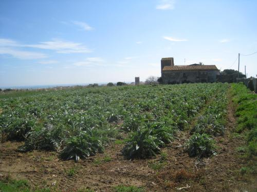 Artichoke farm, Pineda de Mar (Catalonia)