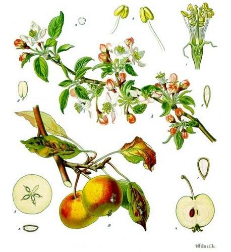 Malus domestica, from Medizinal-Pflanzed by Franz Eugen Köhler (1897)(This file has been identified as being free of known restrictions under copyright law, including all related and neighboring rights.)