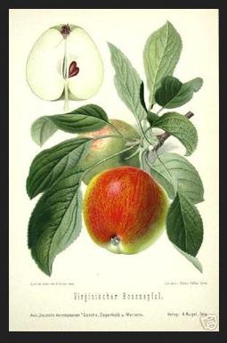 apple-botanical-print
